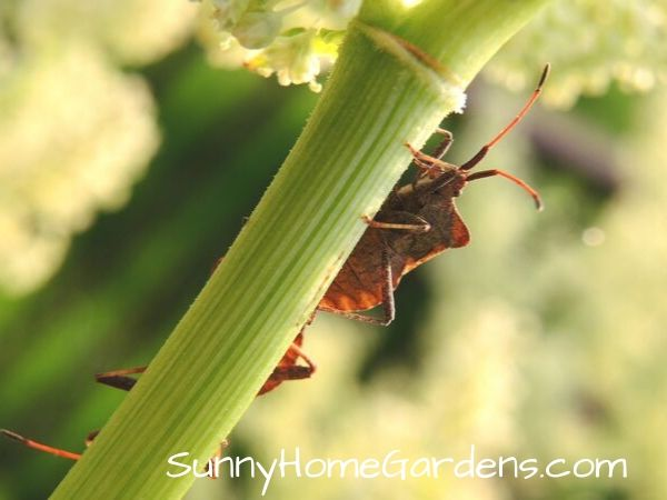 Rhubarb Pests - Beetle on Stem