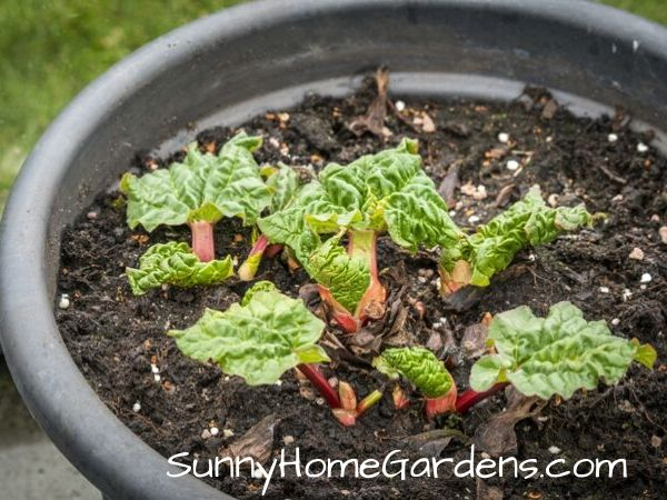 Rhubarb Plant Growing in Pots
