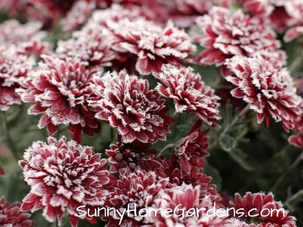 mums with frost