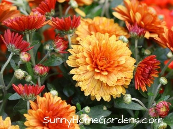 red orange korean mums