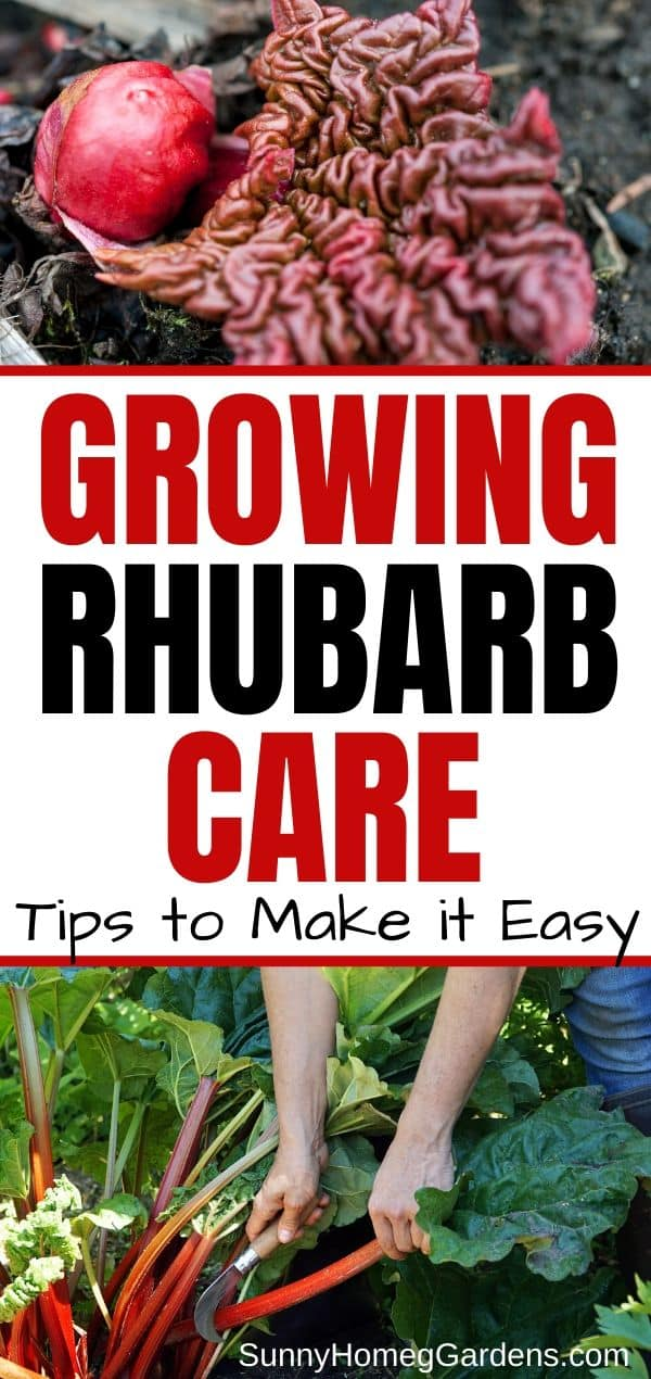Growing Rhubarb Care Pin