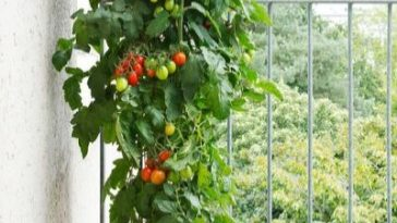large tomato plant growing in planter