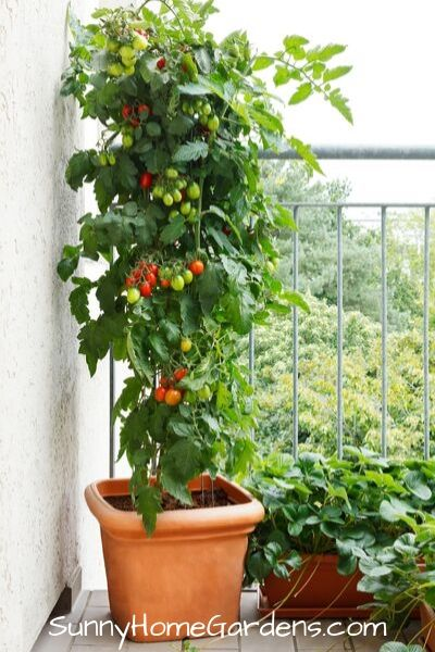 large tomato plant with fruit growing in planter