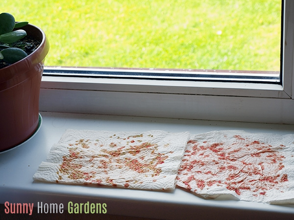 Drying collected tomato seeds on paper towels by window