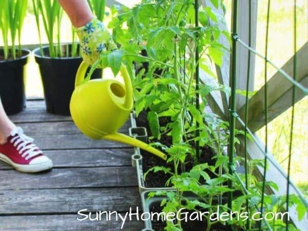 Watering tomato plants in planter