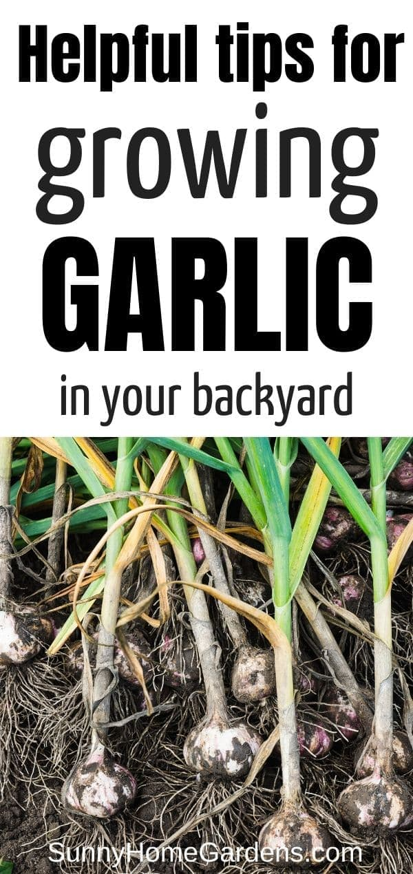 Growing Garlic in your backyard pin image