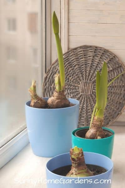 Different stages of growing amaryllis bulbs
