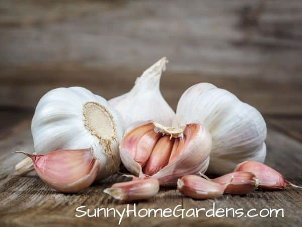 garlic clove vs bulb