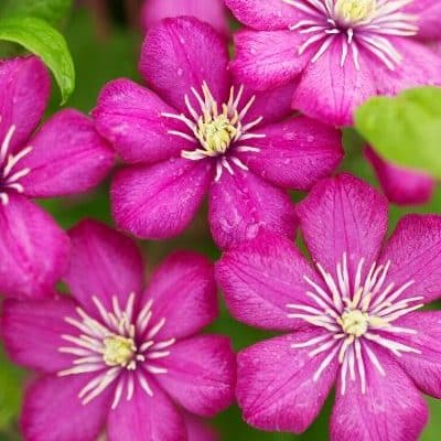 How to Grow and Care for Clematis