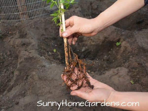 Planting Clematis Vine