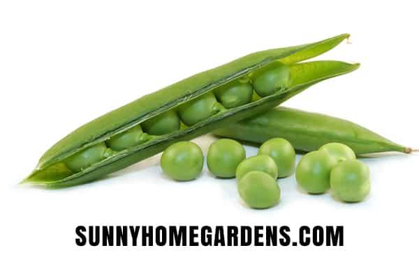 Garden or English Type of Pea