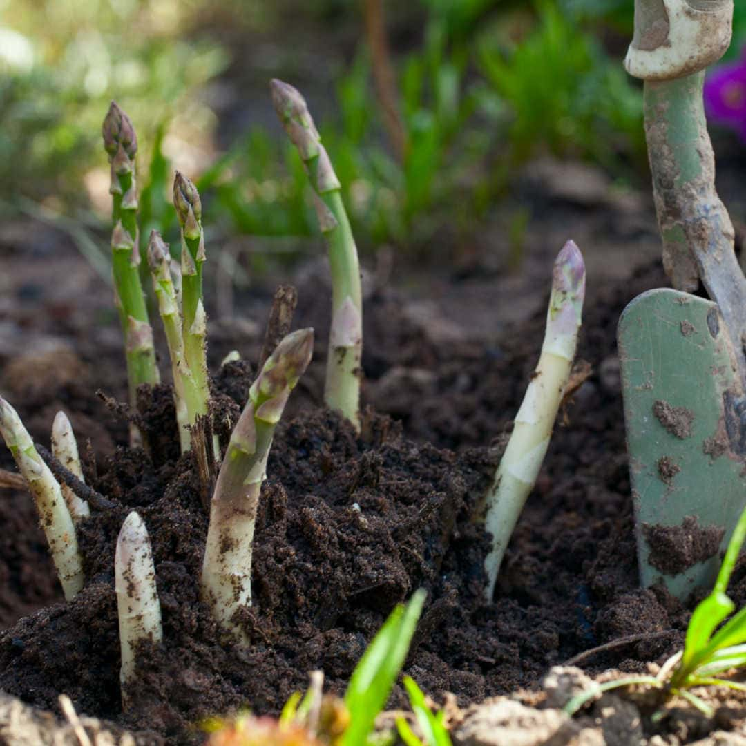 asparagus growing out of soil