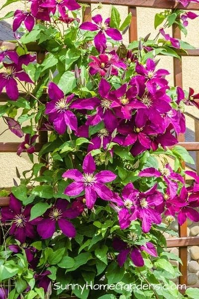 Purple Clematis Growing on Trellis