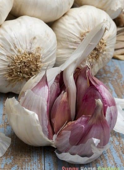 how to grow garlic in pots featured image