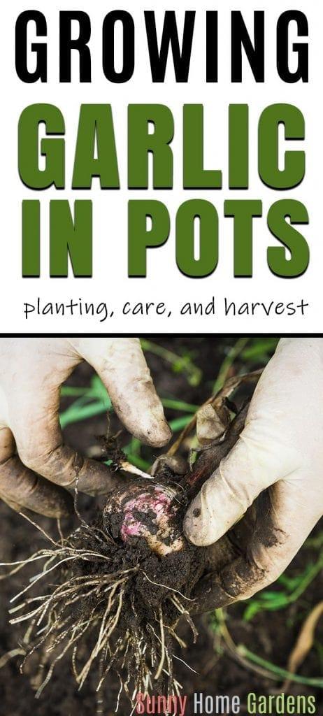 Growing garlic in pots pin design