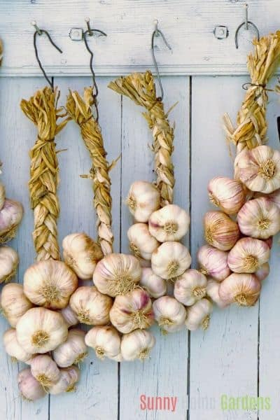 harvested garlic braided and hanging