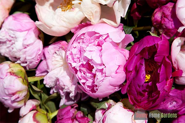 colorful peony flowers