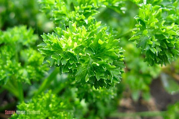 green parsley growing