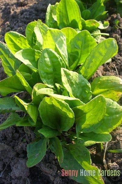 sorrel growing in a garden
