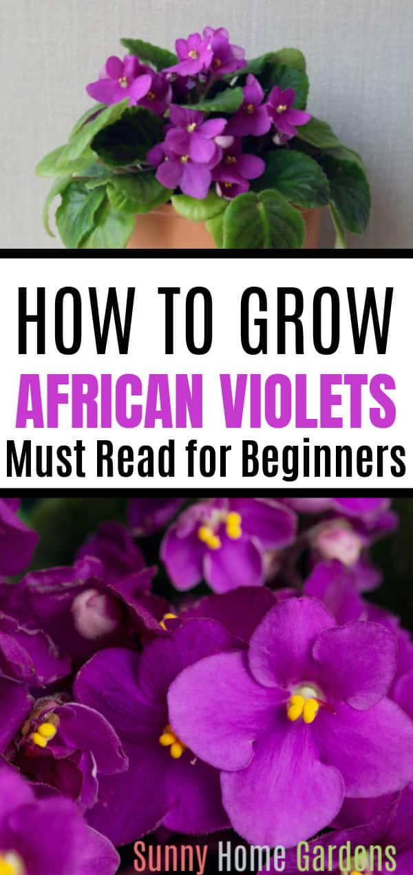 "Pinterest pin image with ""How to Grow African Violets Must Read for Beginners"" in the middle with a picture of a purple African Violet on top of image and a closeup picture of the purple African Violet flowers on the bottom."