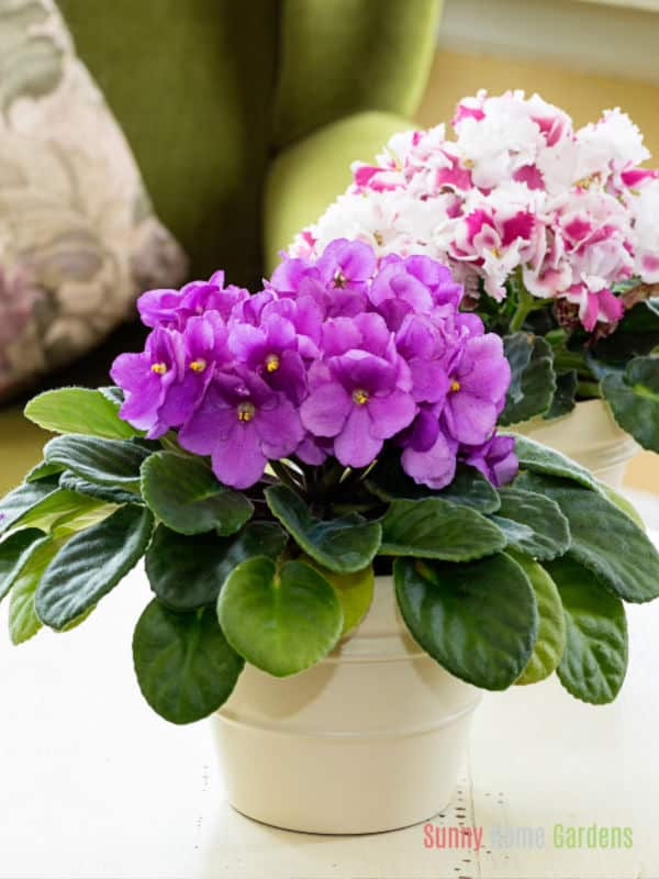 African Violet in pot on table
