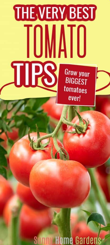 The very best tomato tips Pinterest pin image