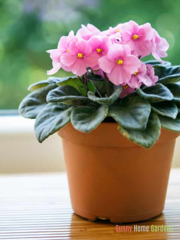 Pink African violets in clay pot on table.