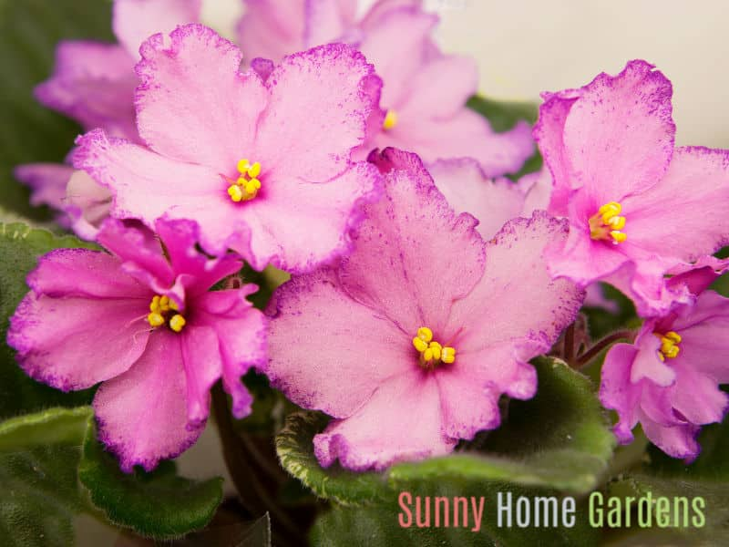 Pink tinged with purple African Violet Flowers