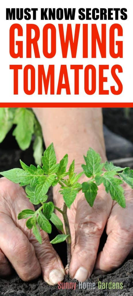 Pinterest pin image with tomato plant and must know secrets growing tomatoes written on it