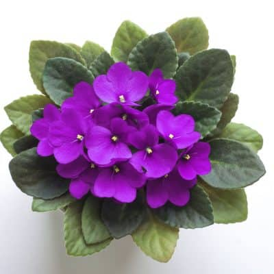 Beautiful Purple African Violet from above