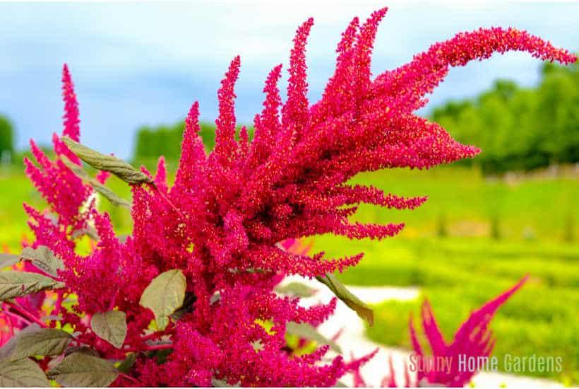 Purple amaranth flower