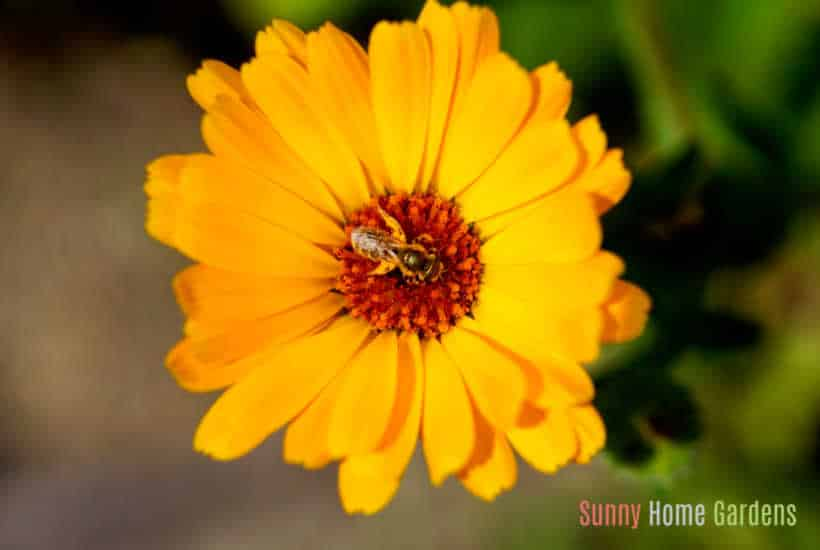 Yellow calendula flower with bee in center