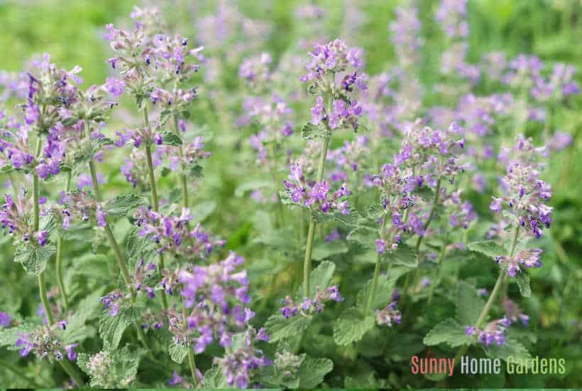 purple catnip flowers growing