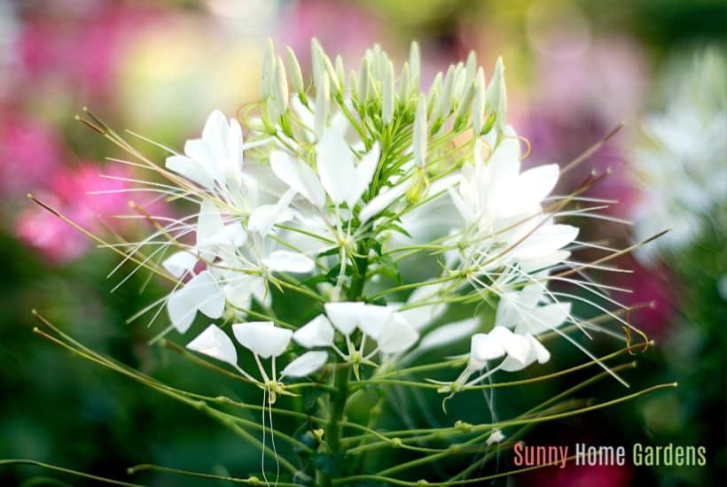 white cleome in bloom
