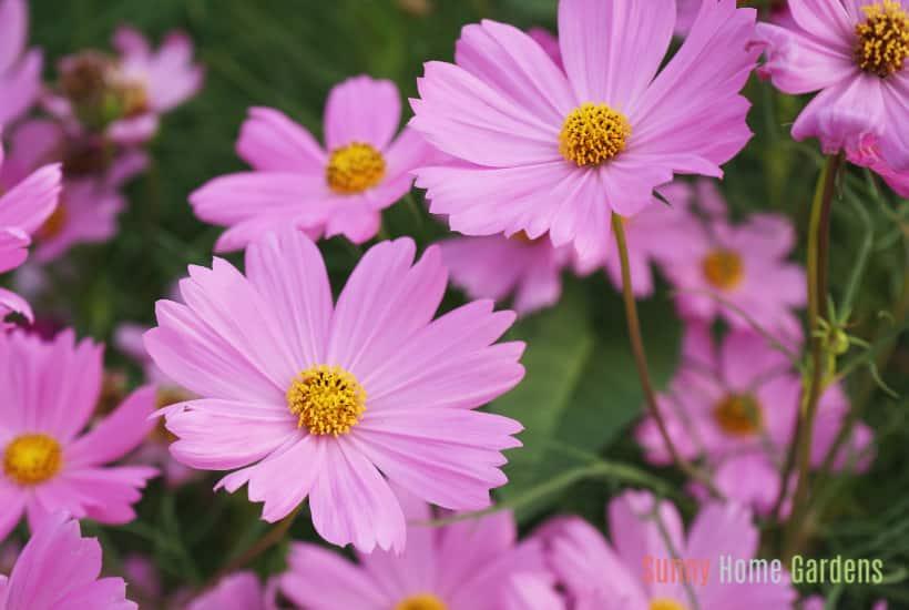 pink cosmos flowers in bloom