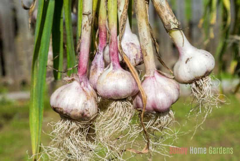 garlic harvested