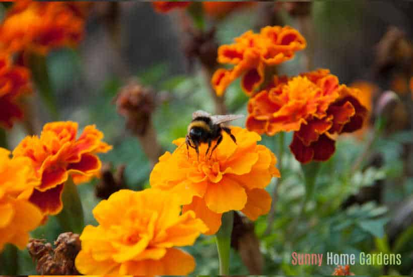 Orange marigold flowers in bloom with bee on it