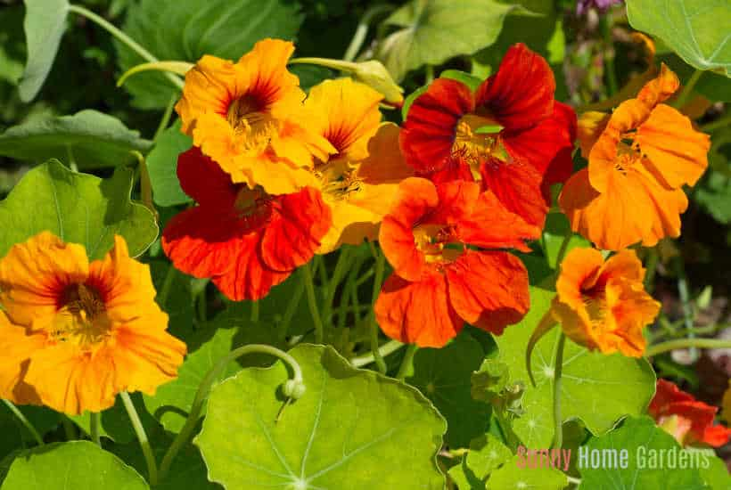 orange and red nasturtium flowers growing
