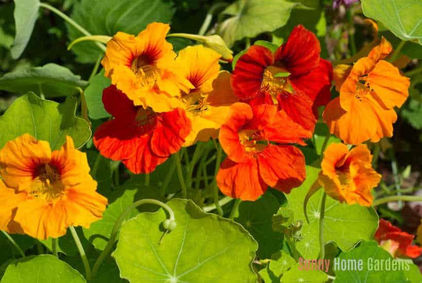 orange and red nasturtium flowers growing