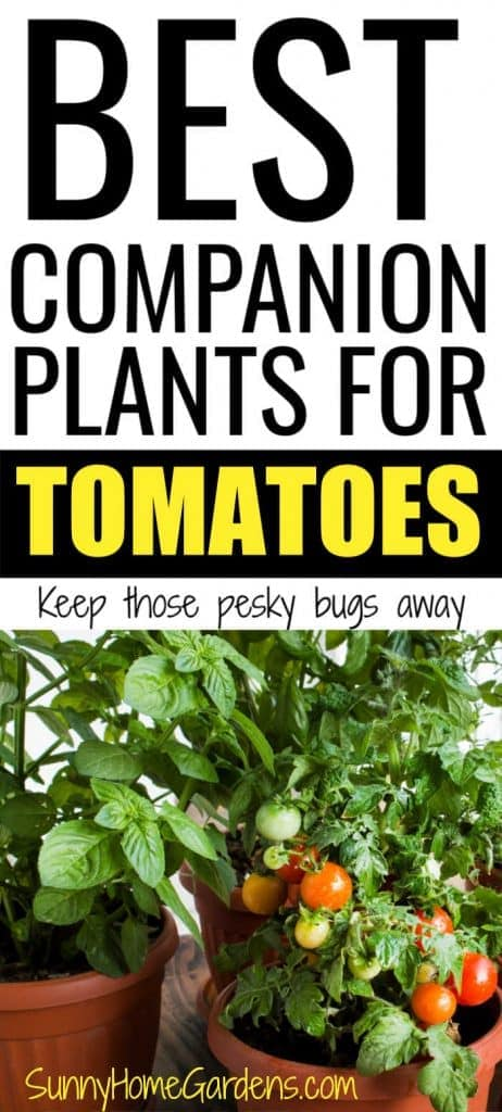 "Pin image with ""BEST COMPANION PLANTS FOR TOMATOES Keep those pesky bugs away"" and pic of tomatoes and basil growing together in garden below words"