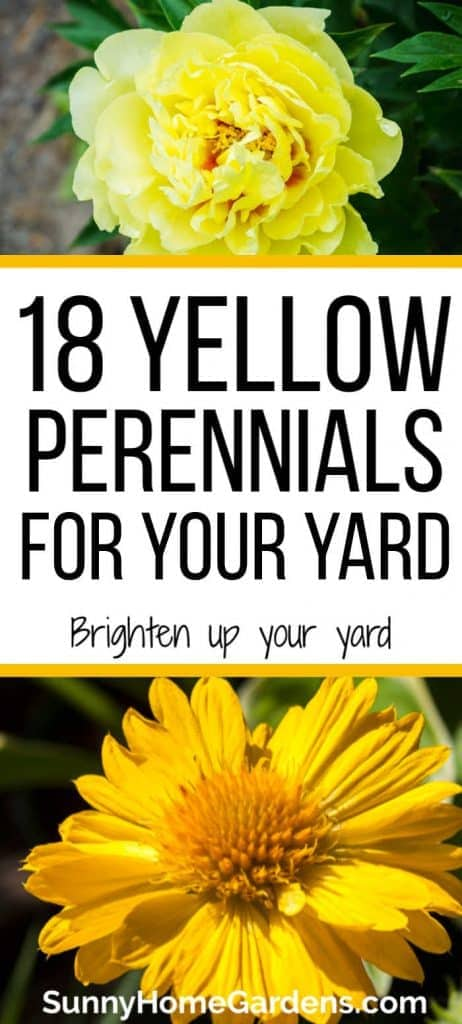 yellow peony on top and yellow Gaillardia flower on bottom with the text - 18 Yellow Perennials for your yard, Brighten up your yard in the middle