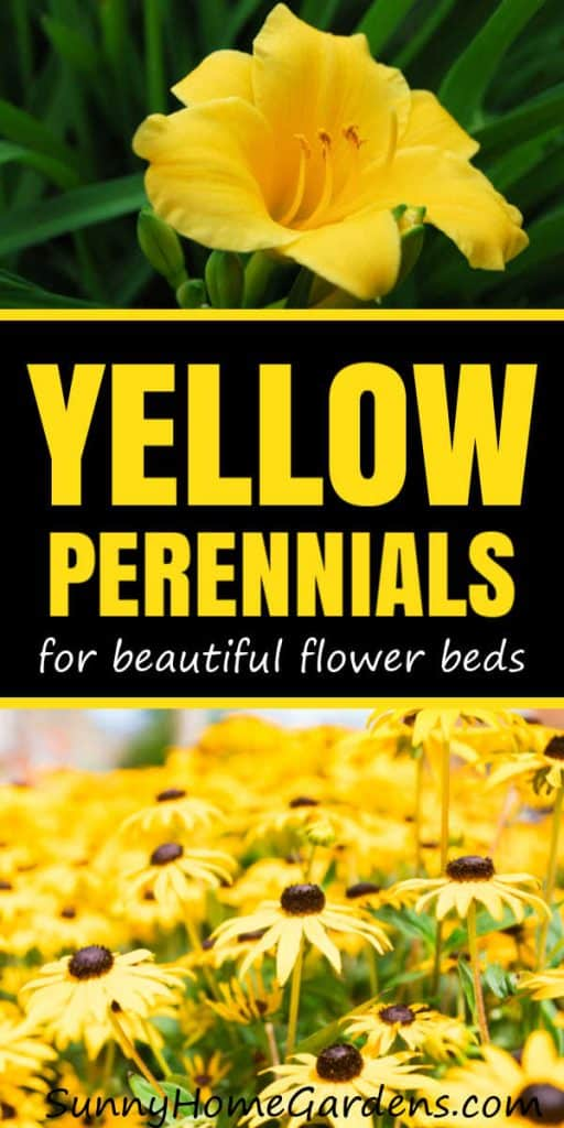 "Pinterest pin with ""Yellow Perennials for beautiful flower beds"" in center and a yellow daylily on top and a black eyed susan on the bottom"