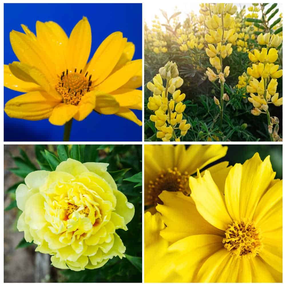 collage of four different yellow perennial flowers