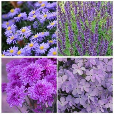 16 Purple Perennial Flowers for Stunning Flower Beds