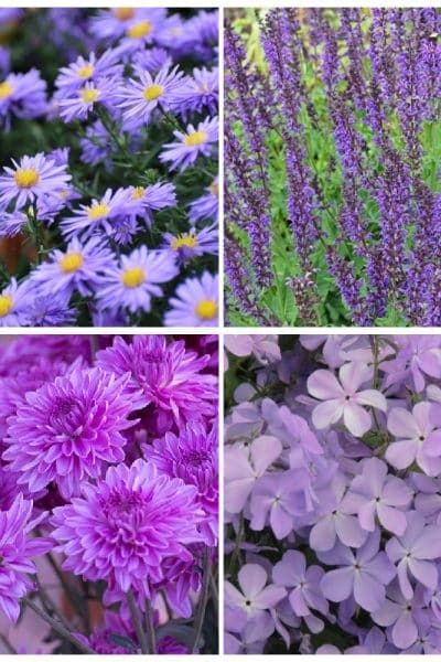 collage of purple perennial flowers - aster, salvia, phlox, and mums