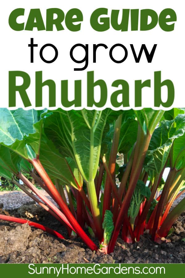 Care guide to grow rhubarb written on top and picture of a healthy rhubarb plant on bottom
