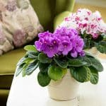 best pots for african violets