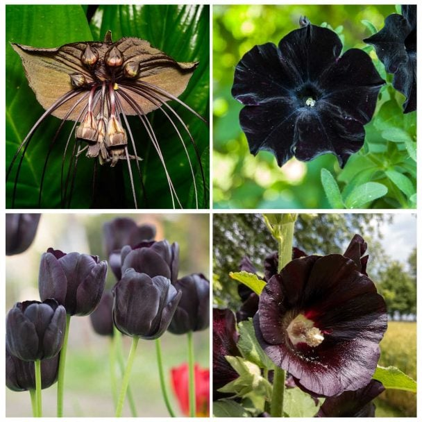 top left black bat flower, top right is a black petunia, bottom right is a black hollyhock and bottom left is a black tulip