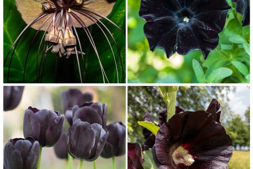 four square black perennials - top left corner bat flower, right top black petunia, bottom right black hollyhock, and bottom left black tulip