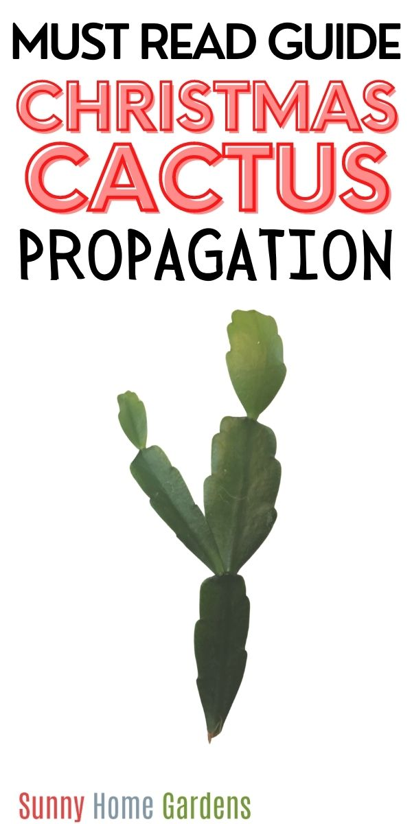 "Top reads ""Must Read Guide Christmas Cactus Propagation"" and bottom is a picture of a Christmas cactus cutting."